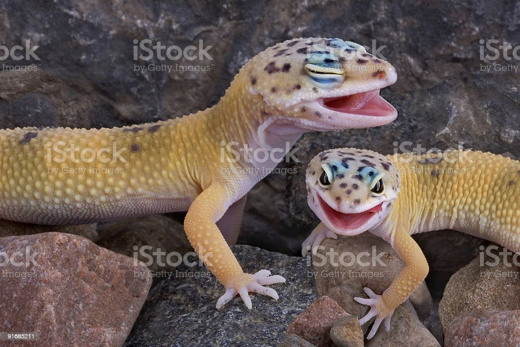 Laughing Geckos royalty-free stock photo