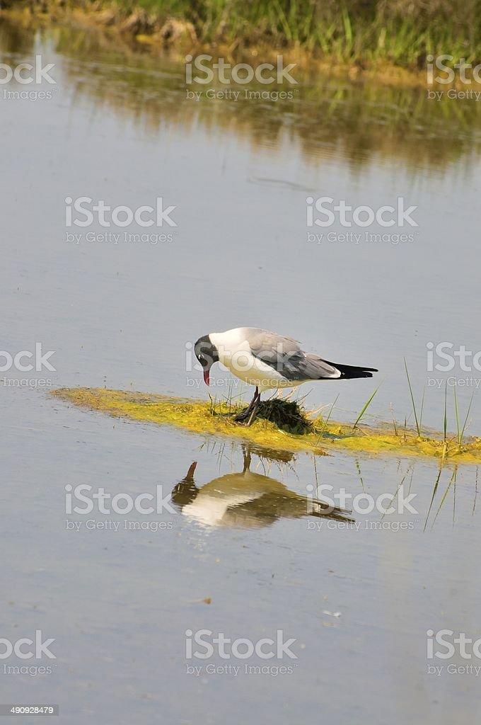 Laughing Gull Admiration stock photo