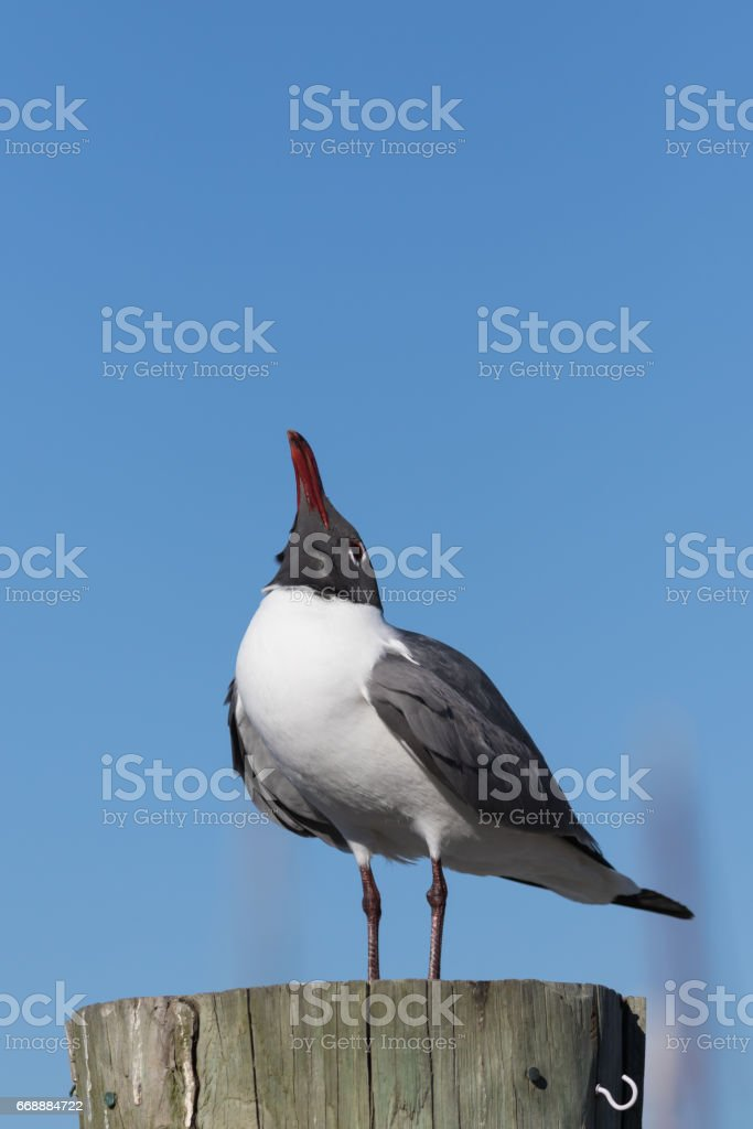 Laughing Gull Cawing, Clearwater, Florida stock photo