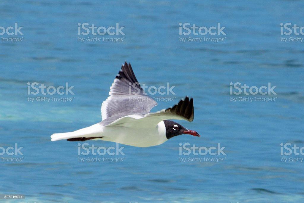 Laughing gull flight stock photo