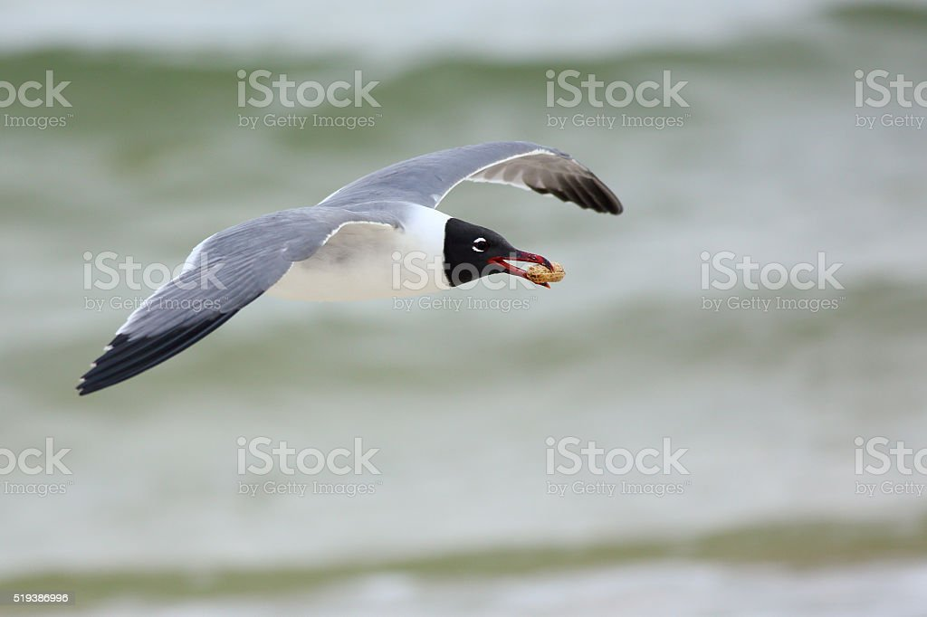 Laughing gull flying with a peanut stock photo