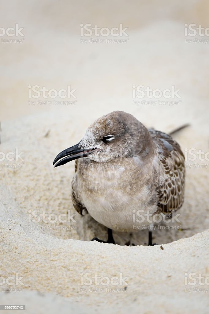 Laughing Gull in a Hole stock photo