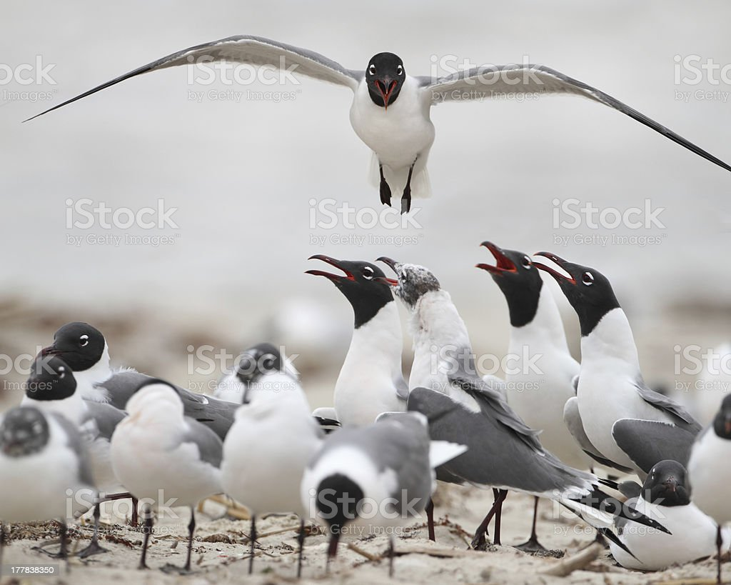 Laughing Gull in Flight - Texas royalty-free stock photo