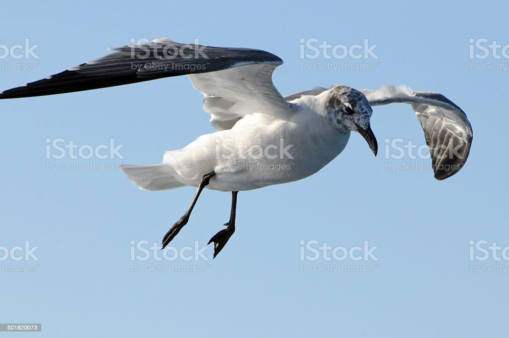 laughing gull  Larus atricilla stock photo