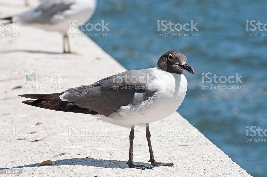 laughing gull  Leucophaeus atricilla stock photo