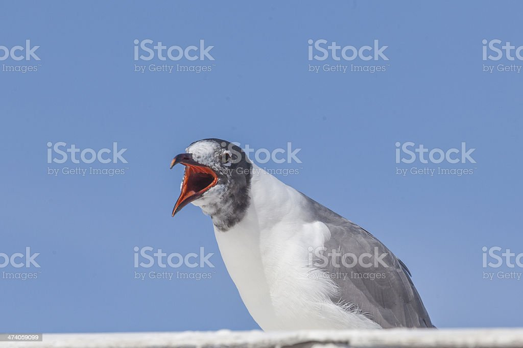 Laughing Gull on a ferry stock photo