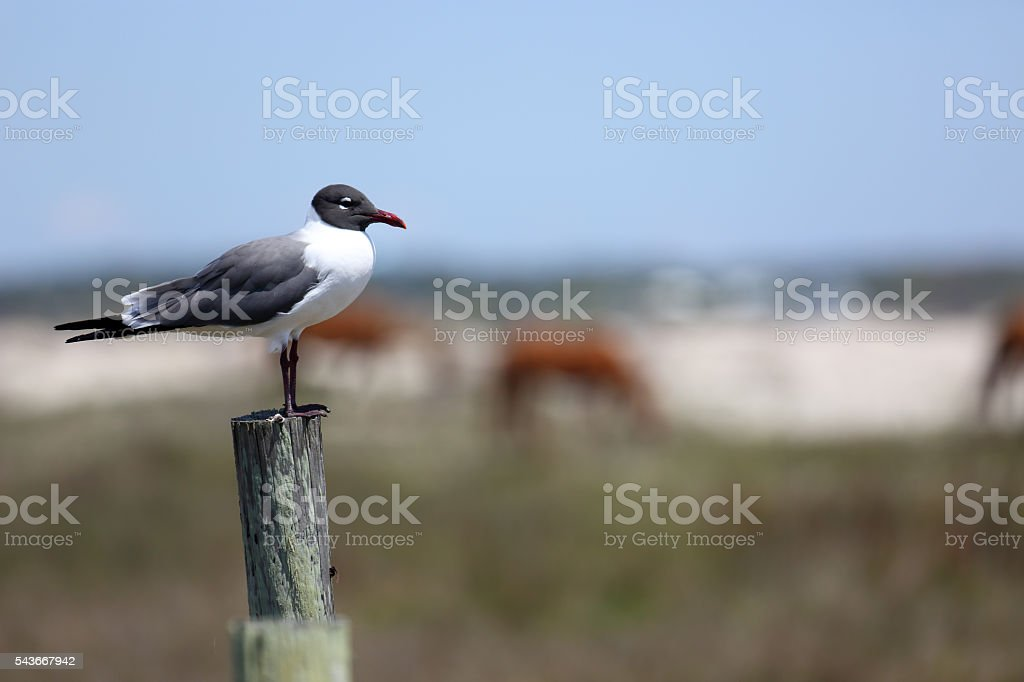 Laughing gull on a post with horses in the background stock photo