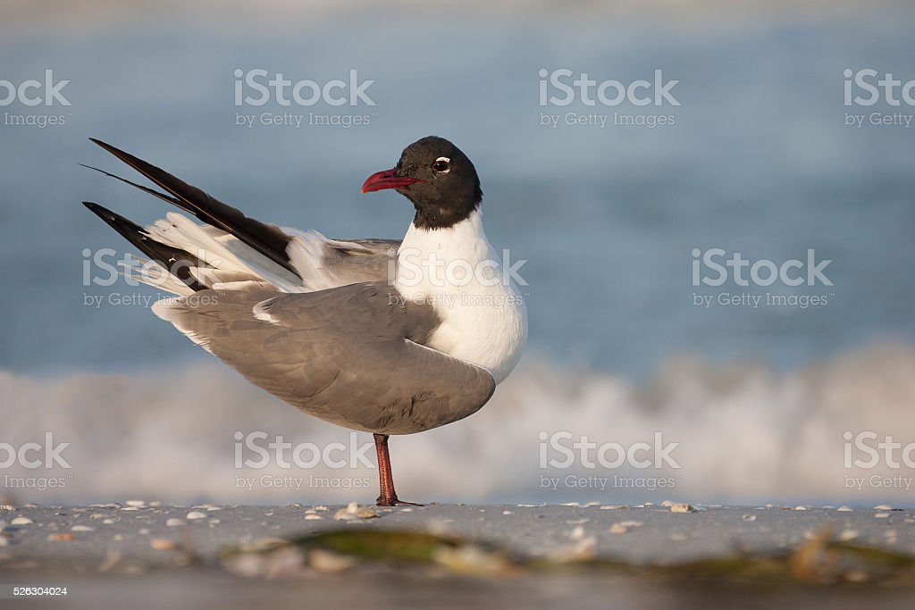 Laughing Gull stock photo
