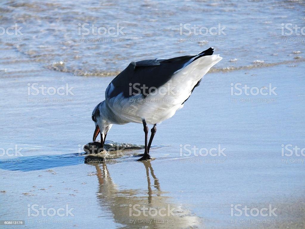 Laughing Gull (Leucophaeus atricilla) stock photo