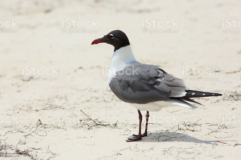 Laughing Gull standing on a beach stock photo