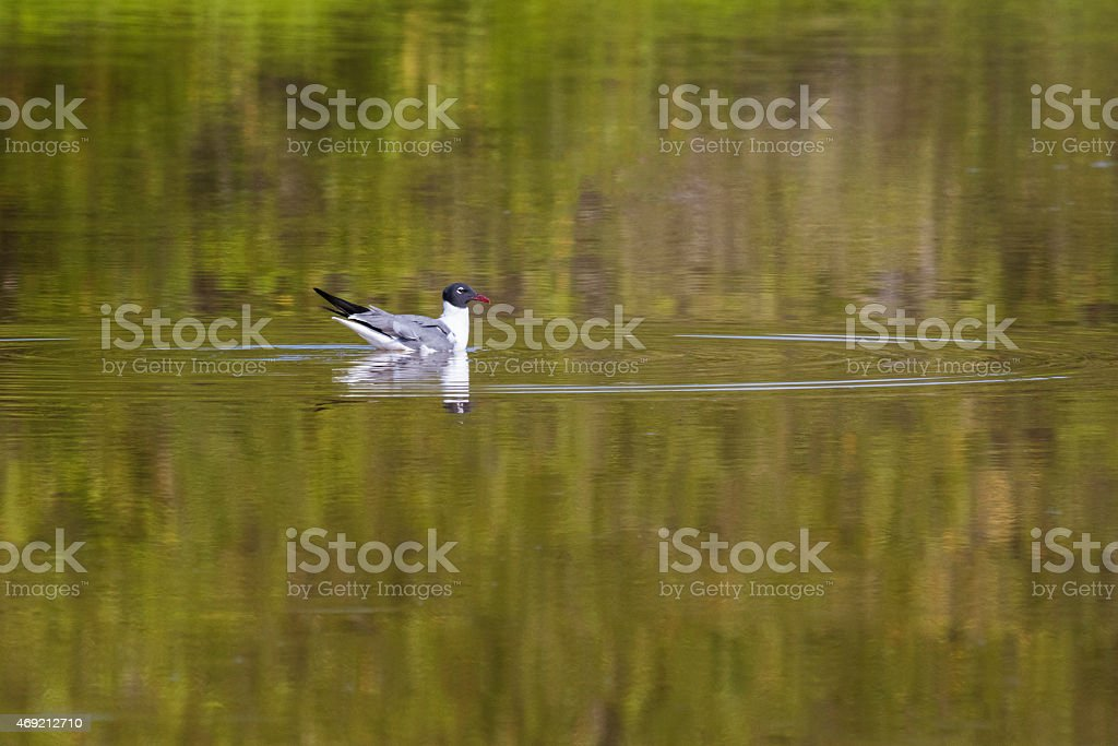 Laughing Gull swimming at Echo Pond in Flamingo, Florida stock photo