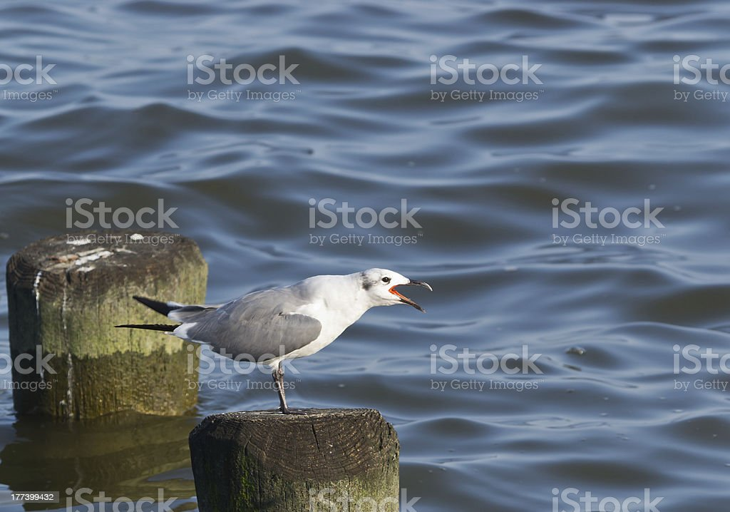 Laughing Gull With Open Mouth stock photo
