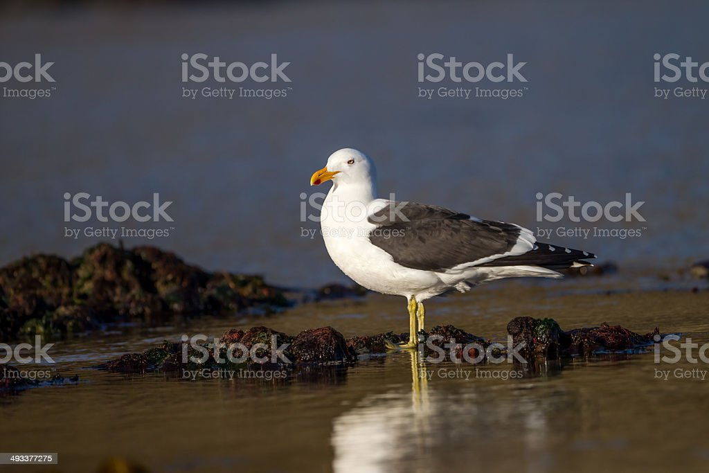 Laughing gull with yellow legs stock photo