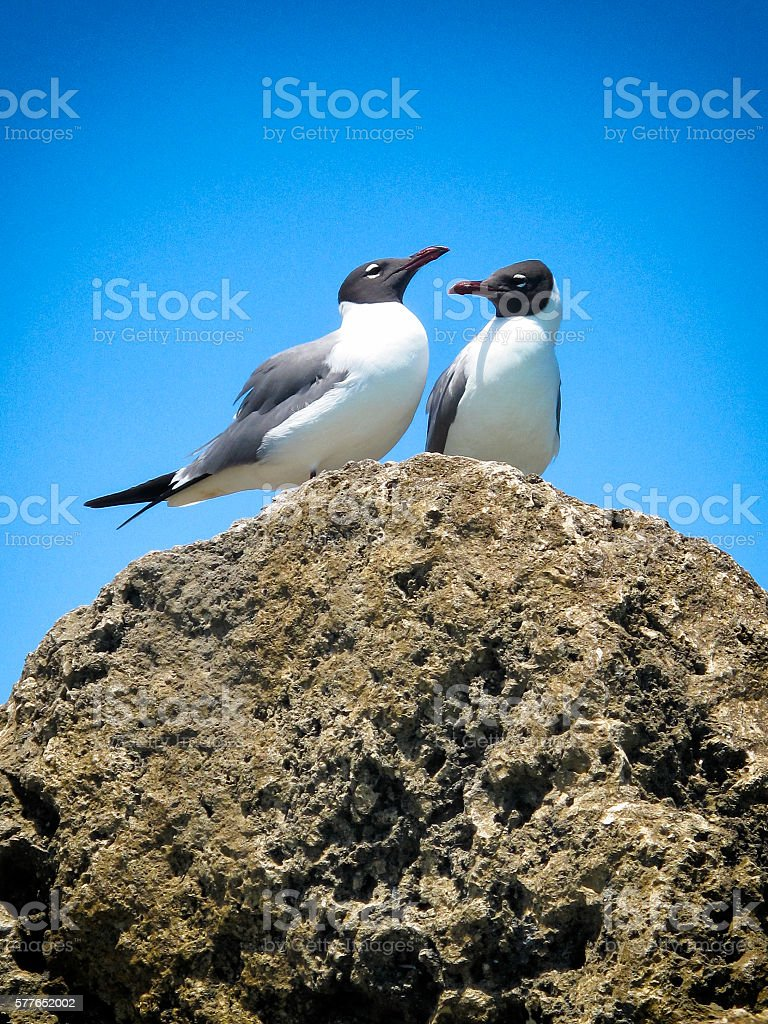 Laughing Gulls in the Bahamas stock photo