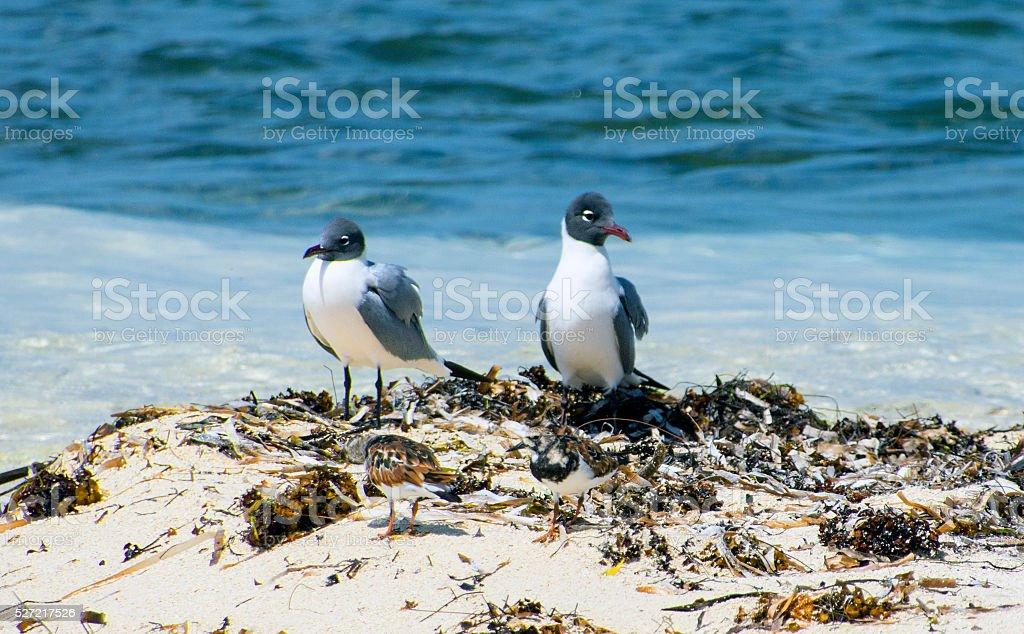 Laughing gulls on the beach stock photo