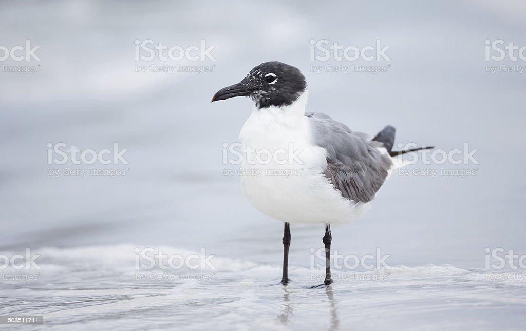 Laughing Gulls stock photo