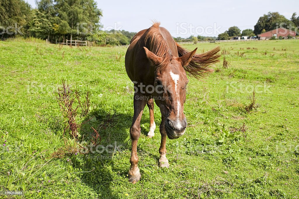 Laughing horse in a field stock photo