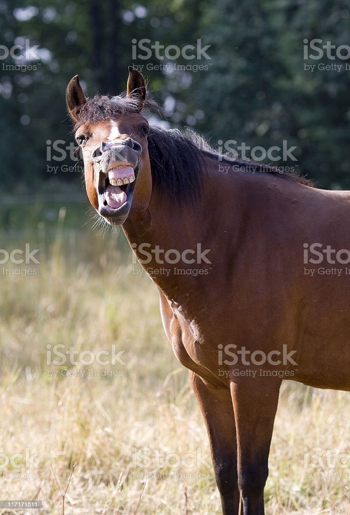 Laughing horse stock photo