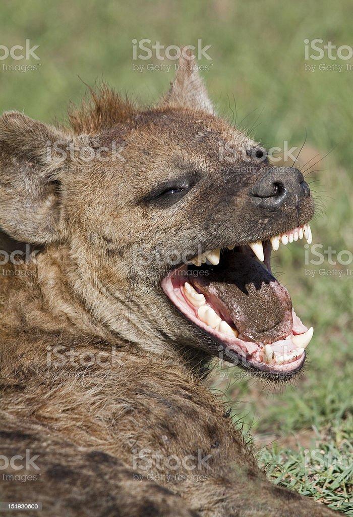 Laughing Hyena stock photo