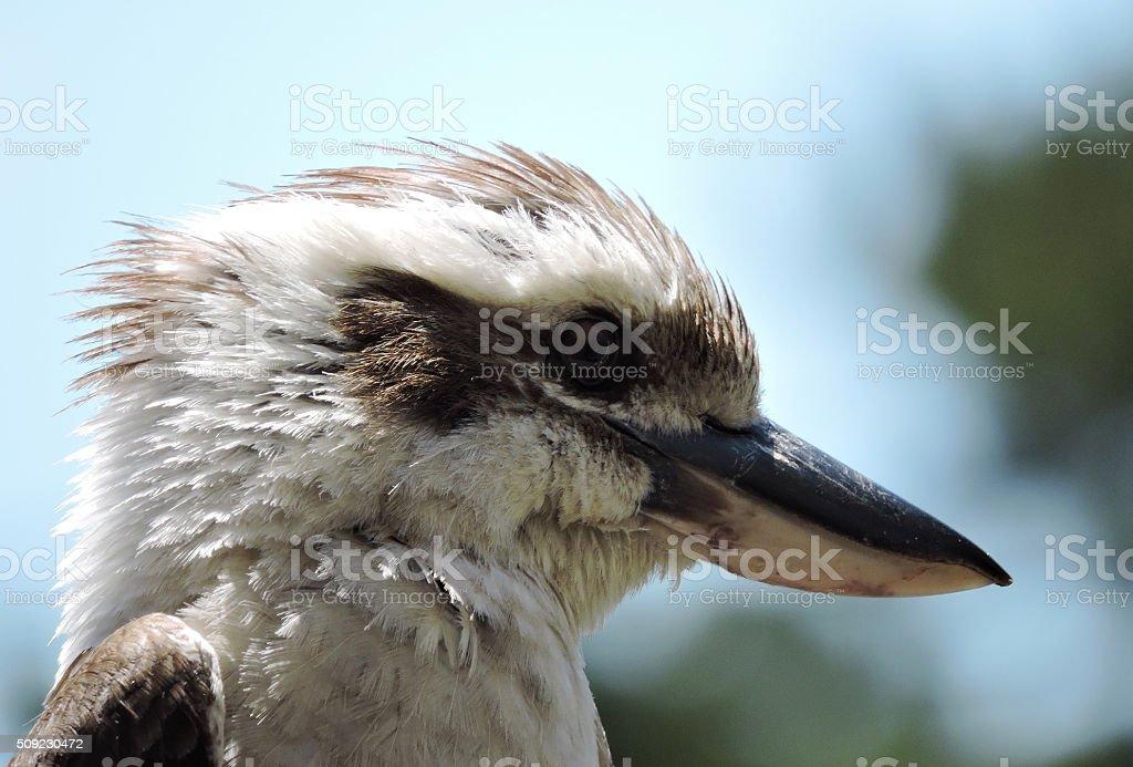 Laughing Kookaburra head shot stock photo