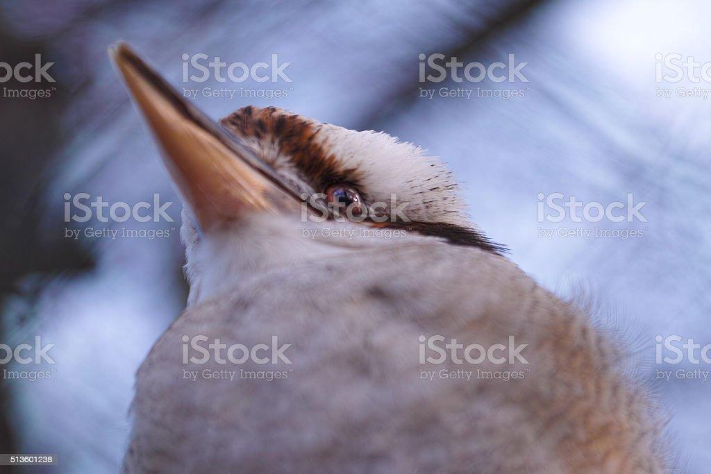 Laughing kookaburra makro stock photo