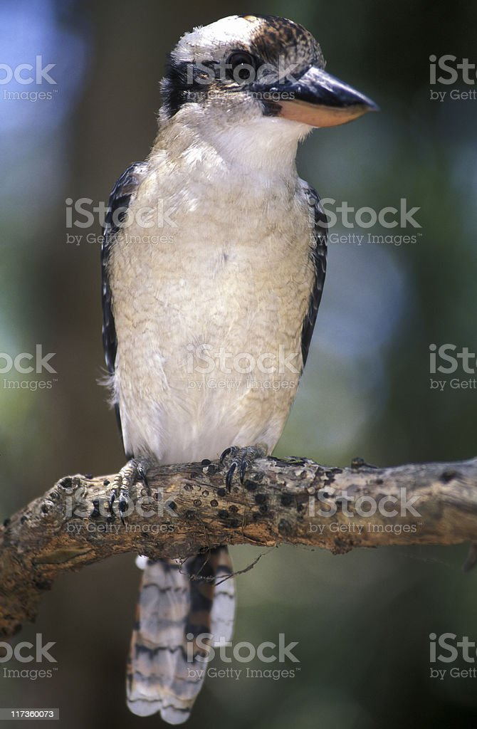 Laughing Kookaburra, Native Australian Bird, Australia royalty-free stock photo