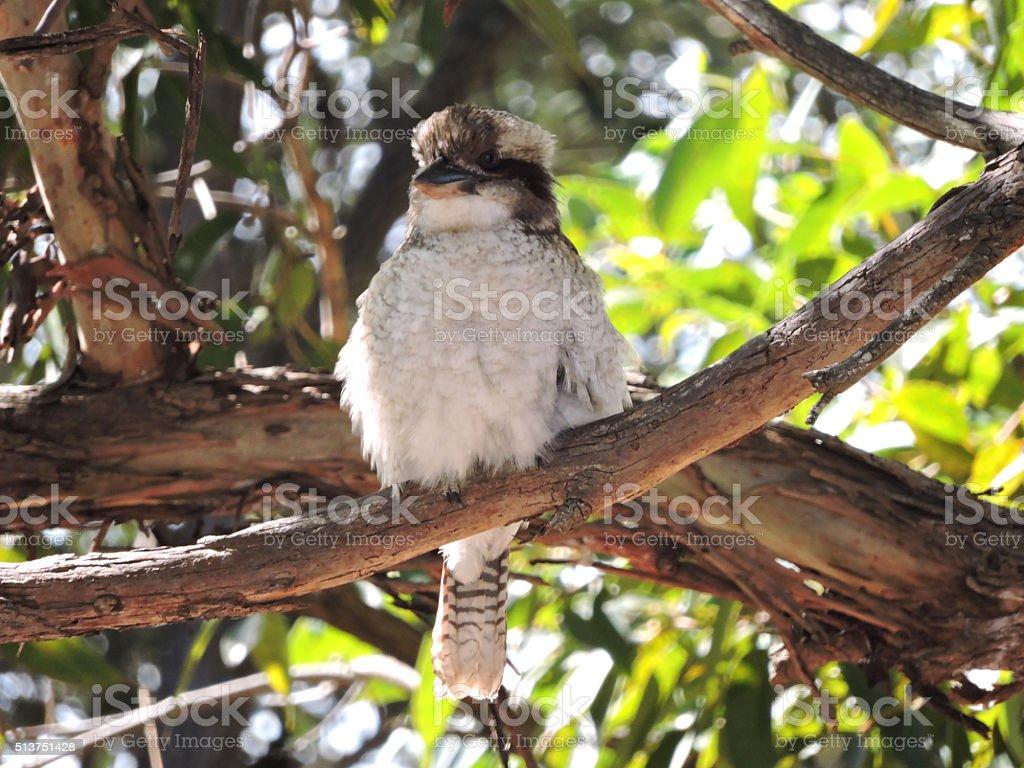 Laughing Kookaburra on a tree branch stock photo