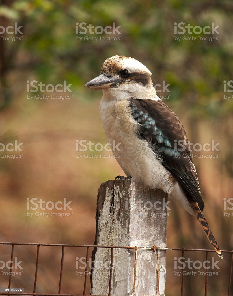 Laughing Kookaburra royalty-free stock photo