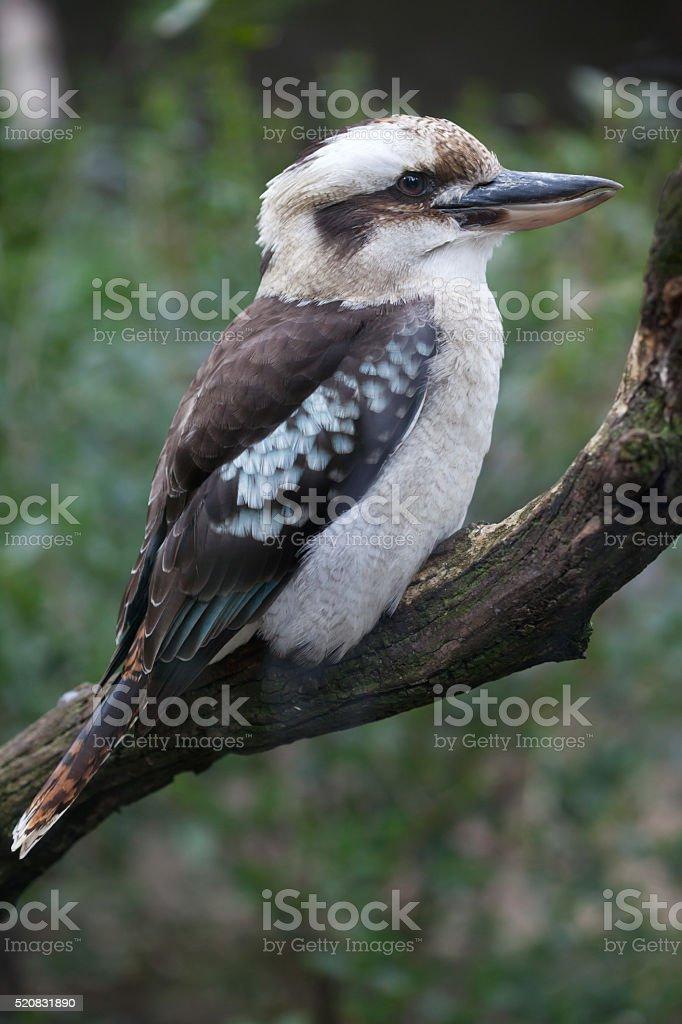 Laughing kookaburra (Dacelo novaeguineae). stock photo