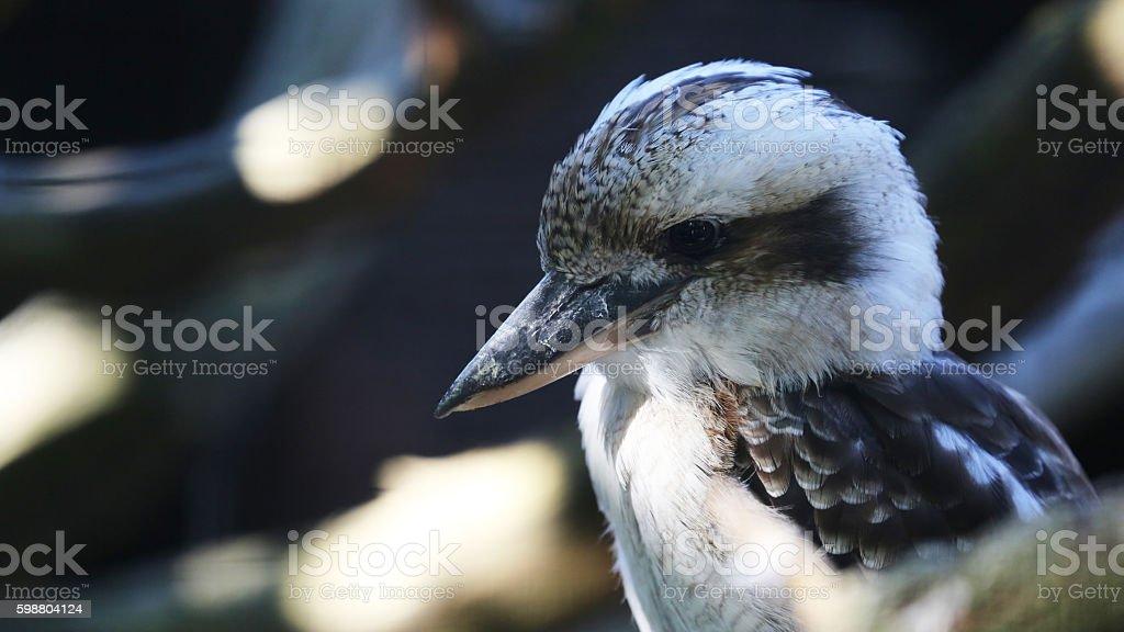 Laughing Kookaburra Portrait stock photo