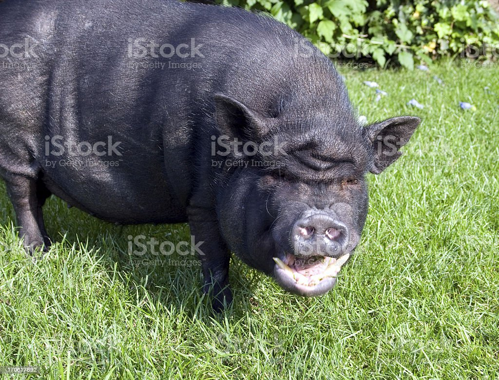 Laughing pig royalty-free stock photo