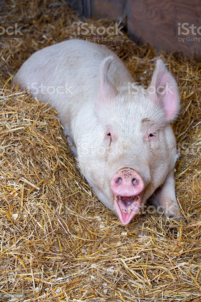 Laughing Pig stock photo