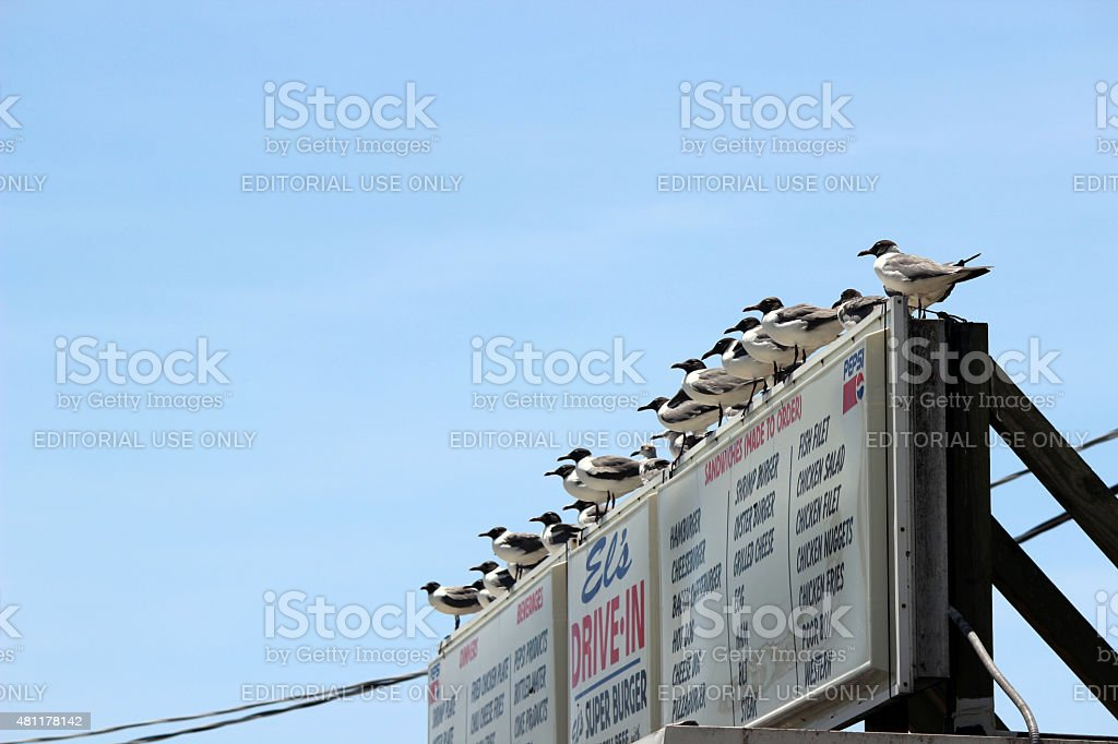 Laughing Seagulls Perch in a Line on Drive-in Sign stock photo