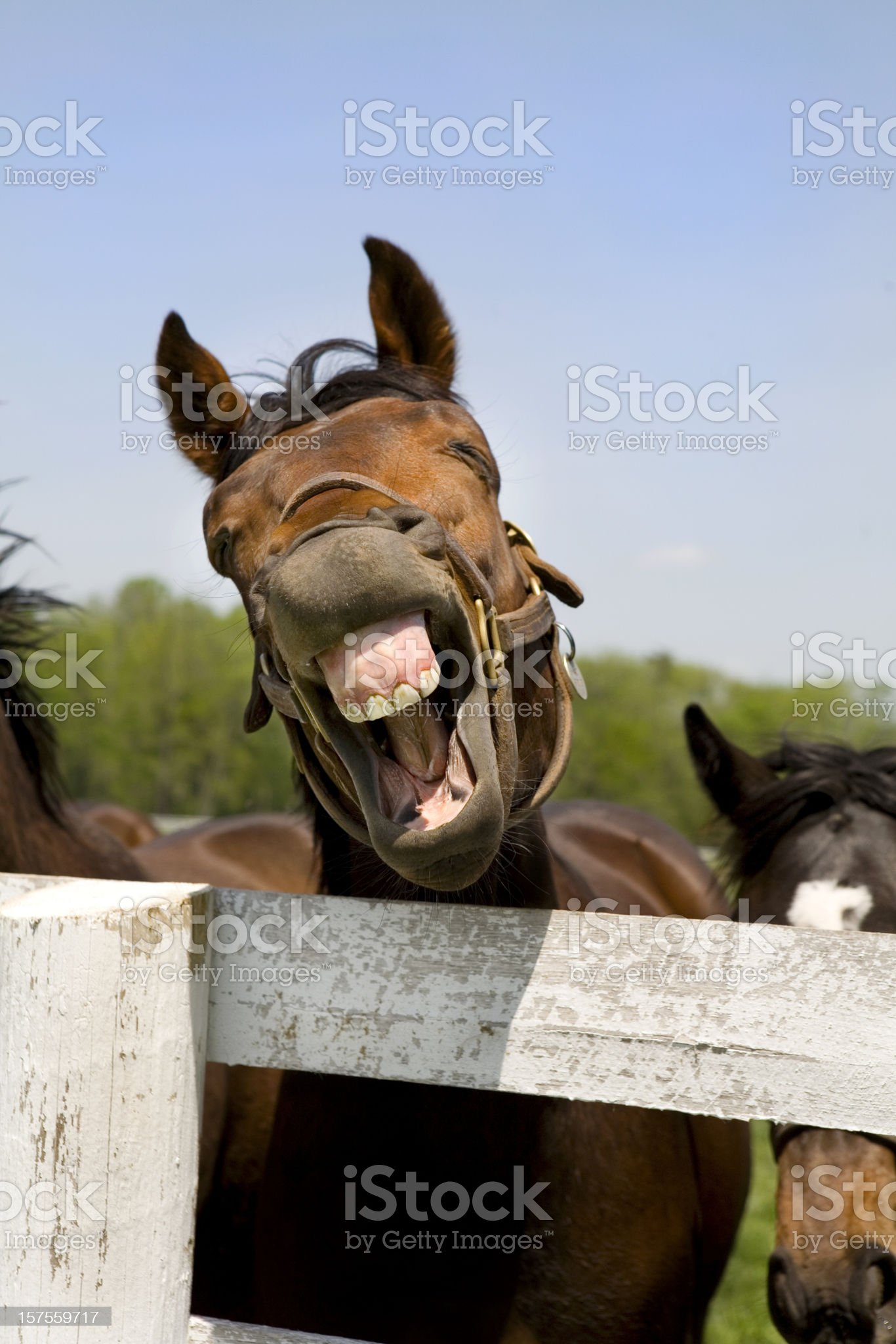 Laughing Thoroughbred Racehorse royalty-free stock photo