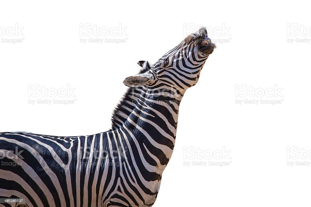 laughing zebra isolated stock photo