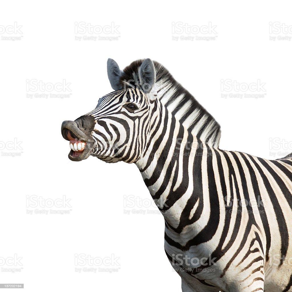 Laughing zebra on plain white background stock photo