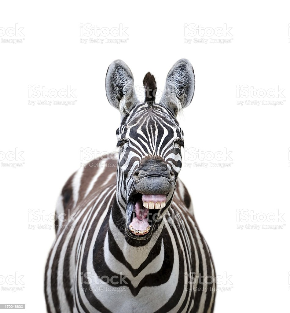 laughing zebra royalty-free stock photo