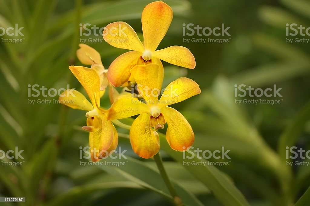 Laura Bush Orchid In Singapore Botanical Garden stock photo