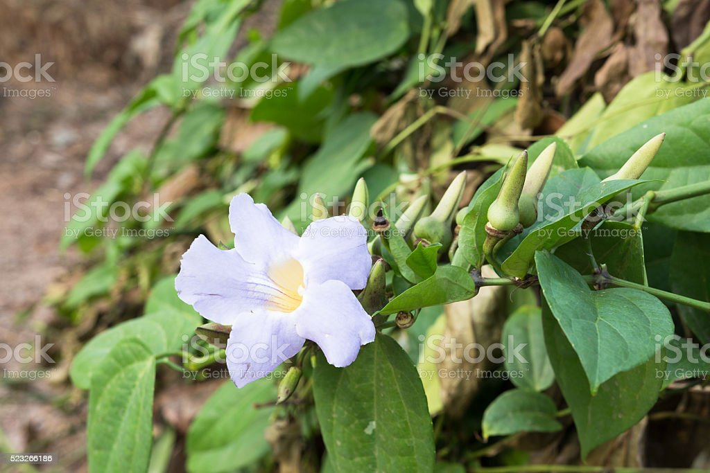 Laurel clockvine flower stock photo