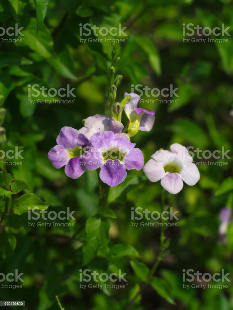 Laurel Clockvine or Thunbergia laurifolia stock photo