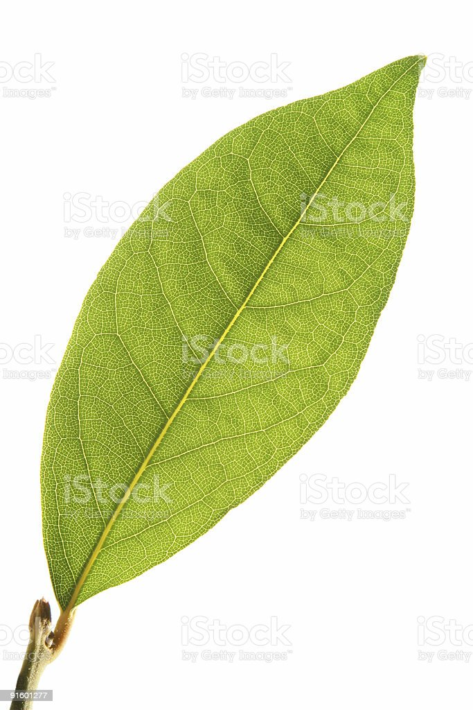 laurel leaf royalty-free stock photo
