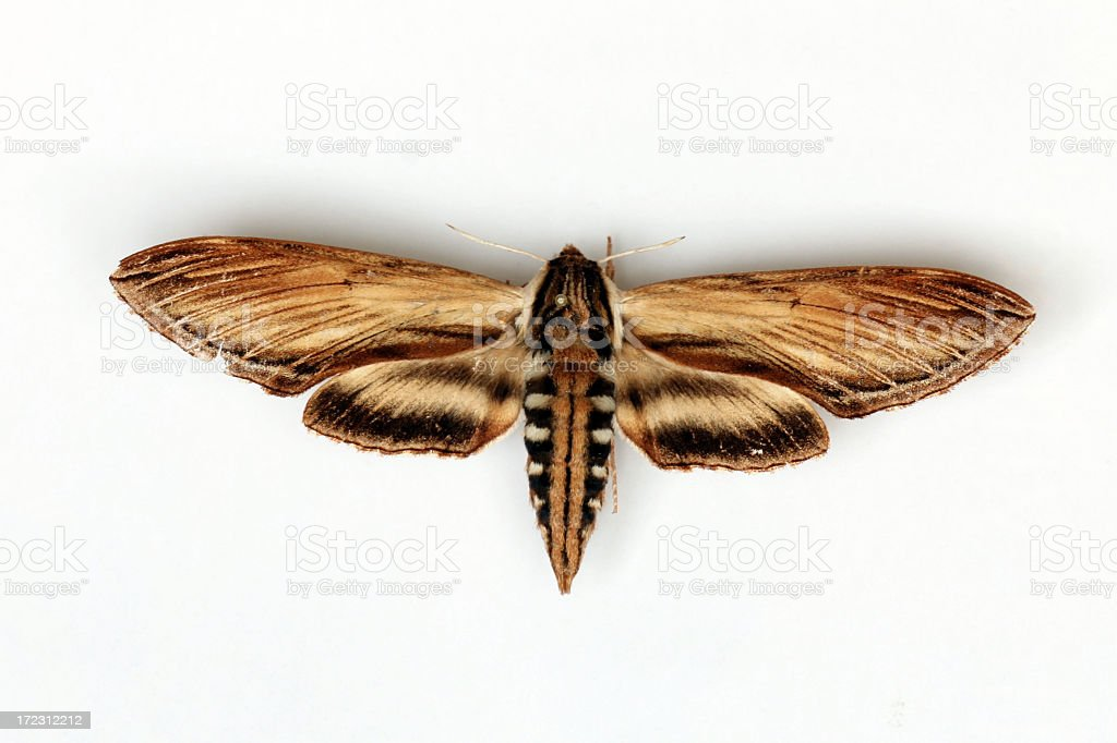 Laurel Sphinx Butterfly Isolated on White Background stock photo