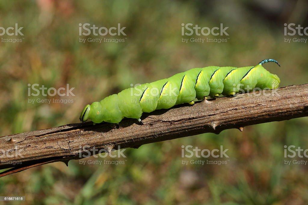 Laurel Sphinx Caterpillar stock photo
