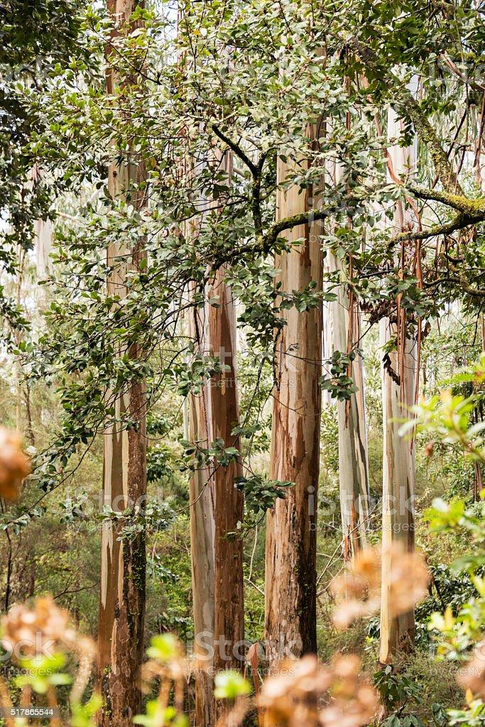 laurel trees on madeira stock photo
