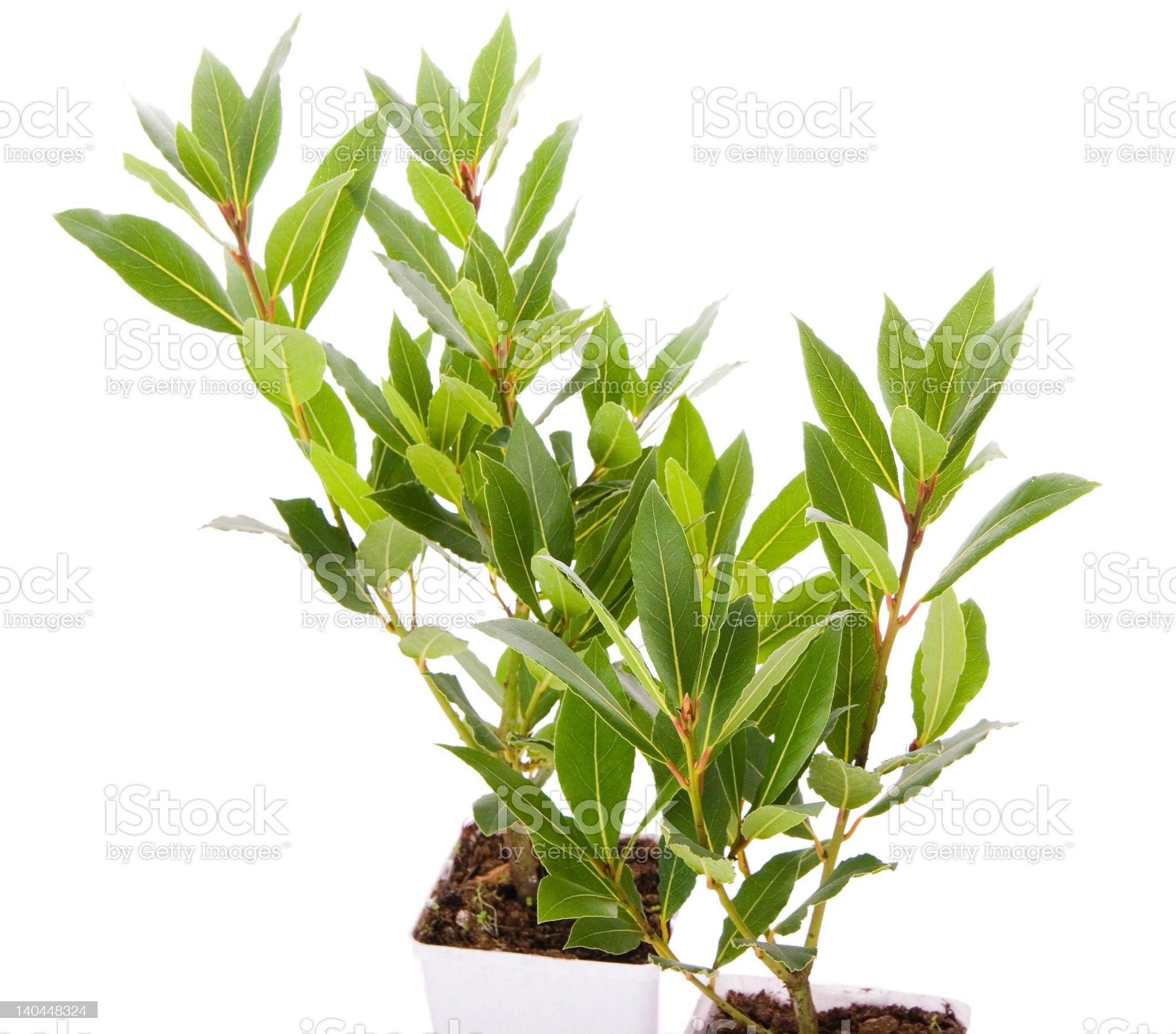 Laurel Trees small kitchen plant royalty-free stock photo