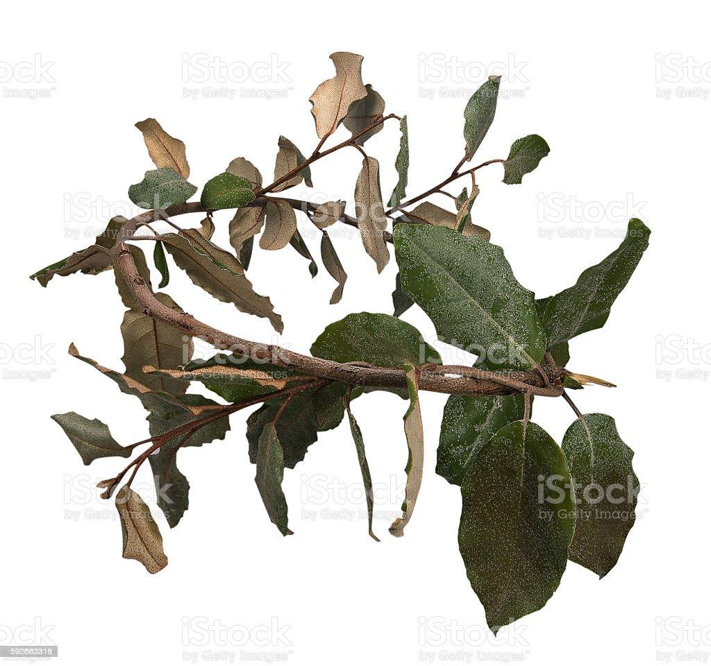 laurel wreath stock photo