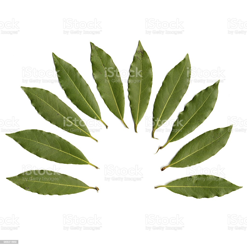 Laurus royalty-free stock photo