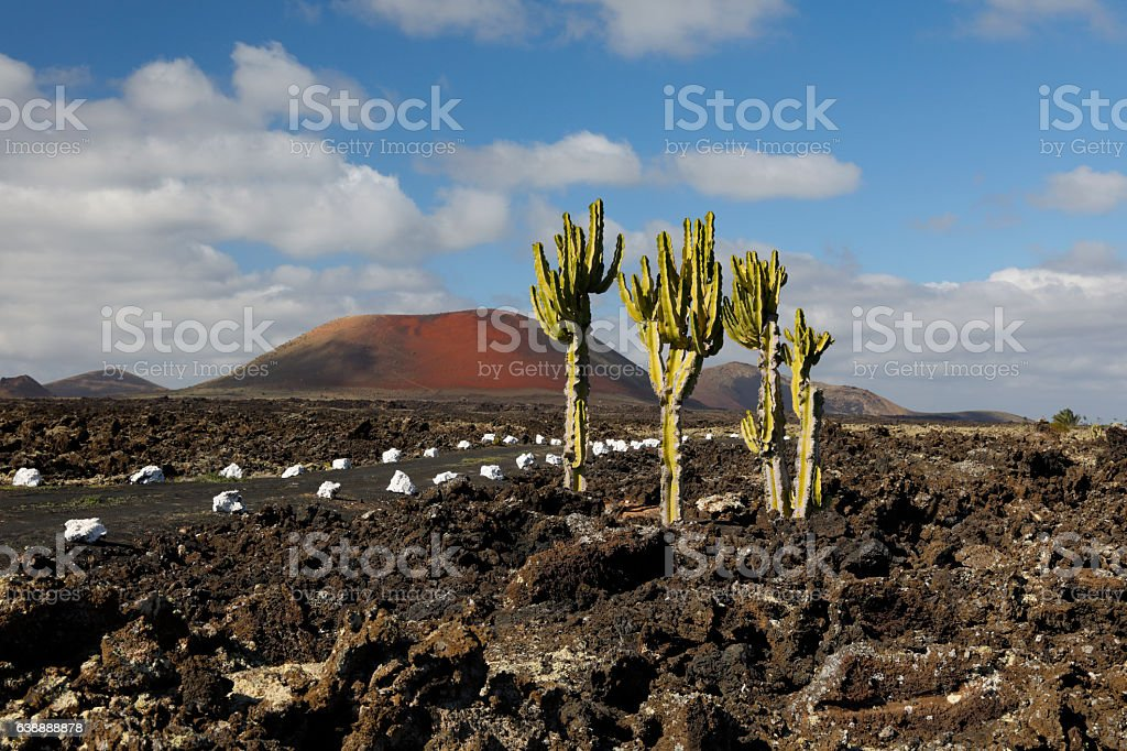 Lava field with cactus, Lanzarote stock photo