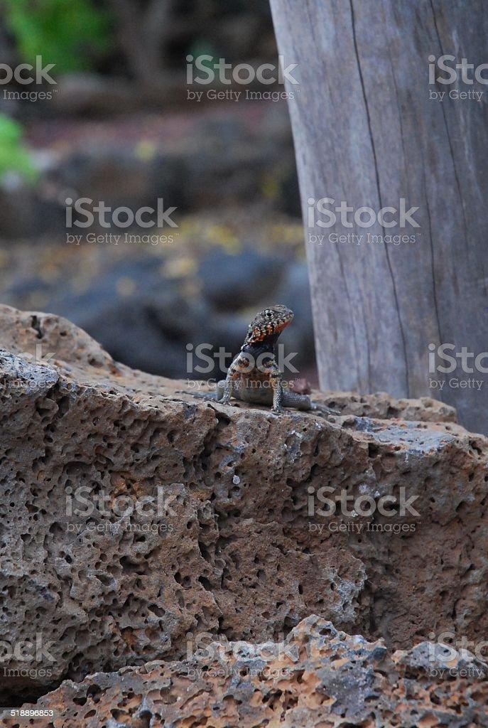 Lava Lizard royalty-free stock photo