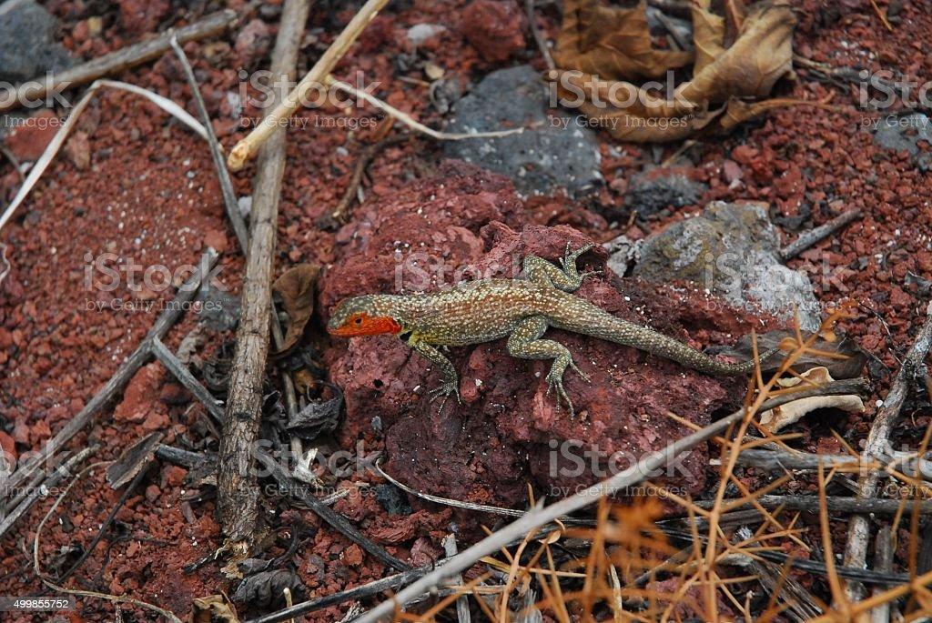 Lava Lizard sitting on a rock royalty-free stock photo